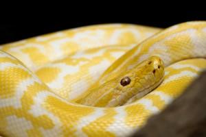žlutý had