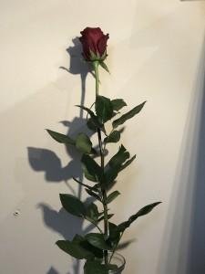 růže rudá